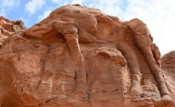 Les chameaux d'Arabie Saoudite ...