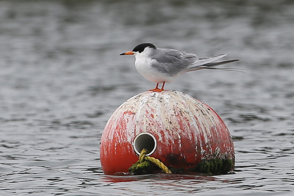 Forster's Tern - Long Beach
