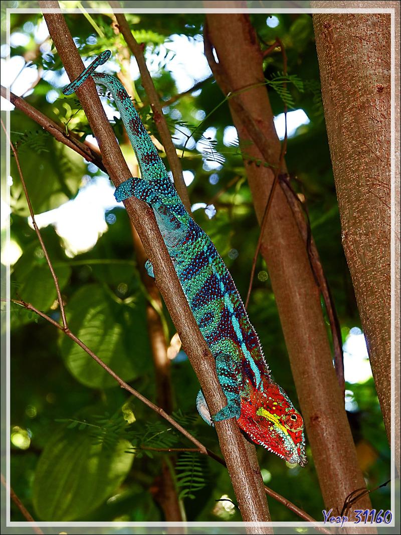 Couple de Caméléons panthère, Panther chameleon (Furcifer pardalis) - Nosy Tanikely - Madagascar