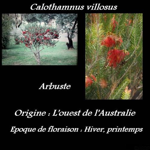 Calothamnus villosus