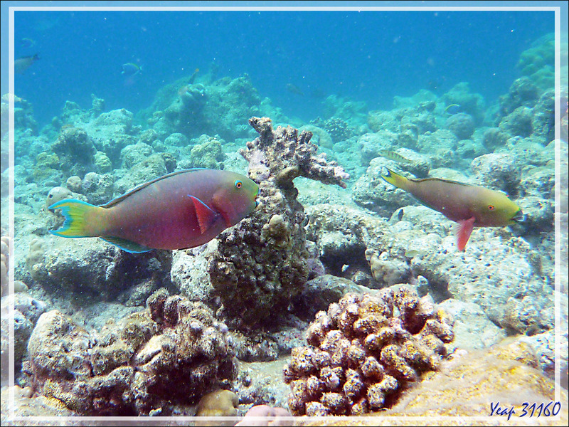 Snorkeling : possible Poisson-perroquet bicolore, Bicolor parrotfish (Cetoscarus ocellatus) - Moofushi - Atoll d'Ari - Maldives