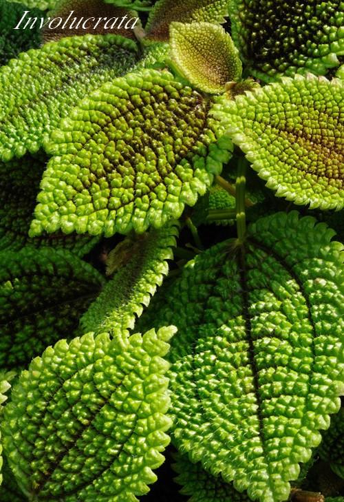 plantes d 39 int rieur pilea urticac es chezmamielucette. Black Bedroom Furniture Sets. Home Design Ideas