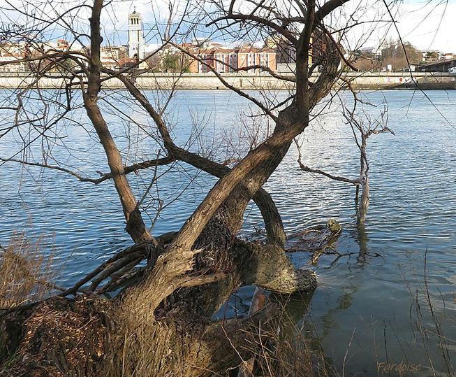 L'arbre qui retourne au Rhône