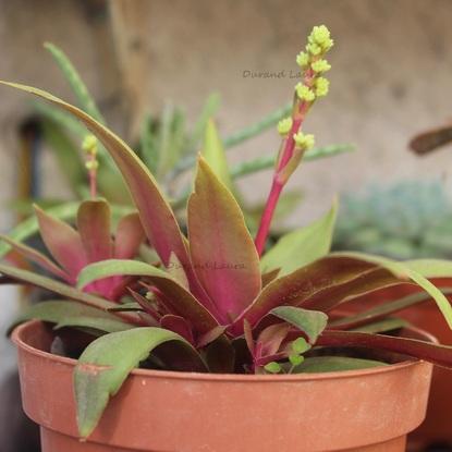 Crassula Orbicularis Rosularis va fleurir - 2015