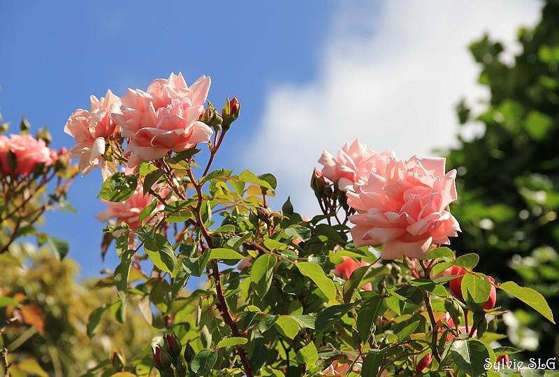 Roses roses ...