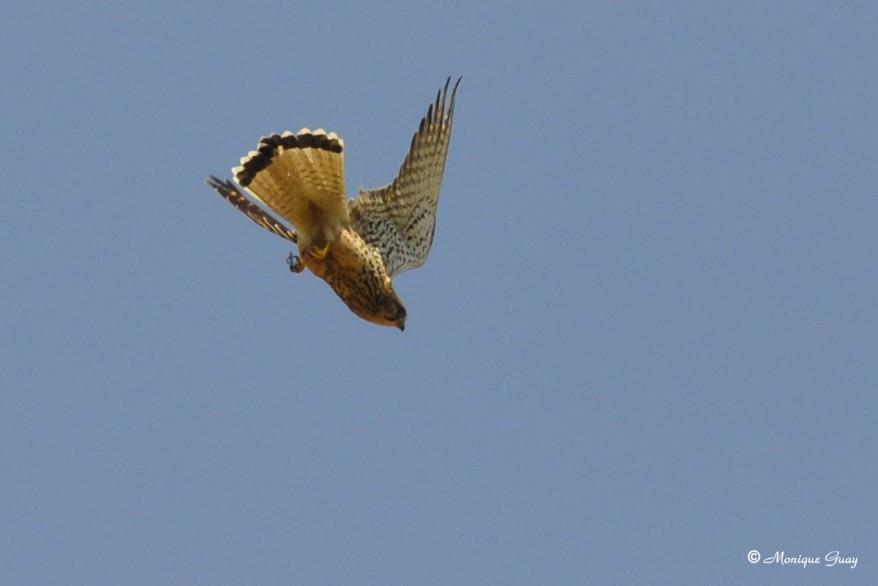 faucon-crecerelle-0273.jpg