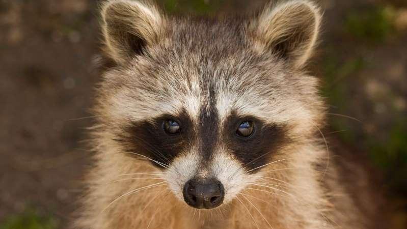 Un raton laveur sauvage décide d'élire domicile dans un zoo... qui n'a pas le droit de le relâcher