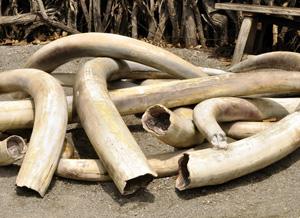 les défenses d'ivoire (ex :d'éléphants)