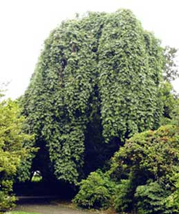 Frêne pleureur Fraxinus excelsior 'pendula'