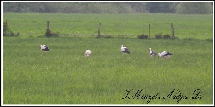 Groupe de cigogne en Ardennes