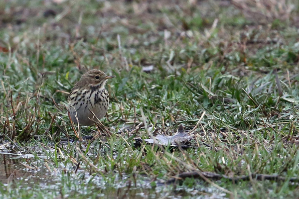 Pipit farlouse - Aigues mortes