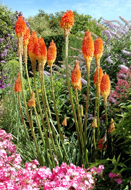 Fleurs cultuvées : Kniphofia