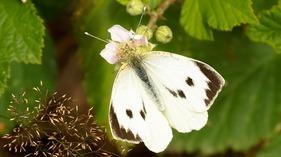 Les mouches et papillons au potager