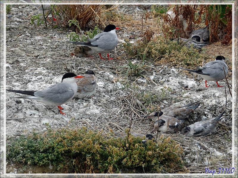 Ralenti : nourrissage de poussin Sterne pierregarin (Sterna hirundo) - La Couarde-sur-Mer - Ile de Ré - 17