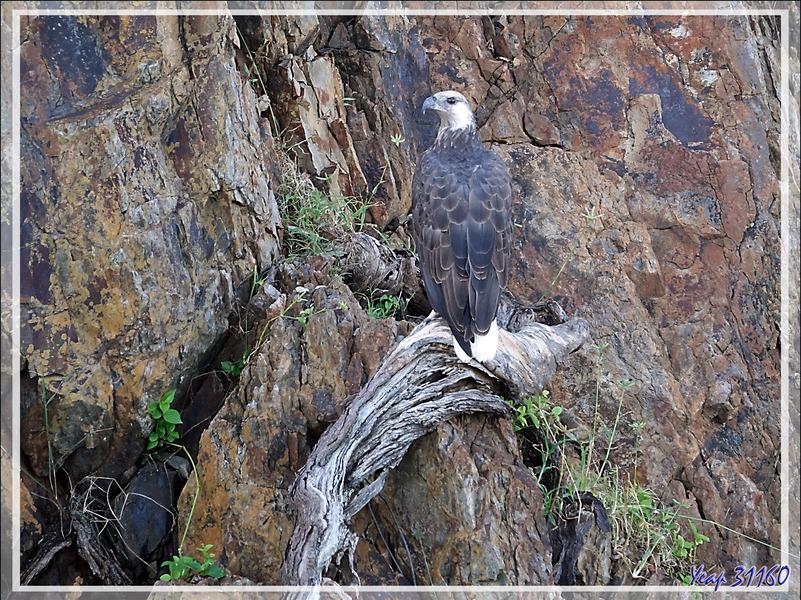 Pygargue de Madagascar, Ankoay, Madagascan Fish Eagle (Haliaeetus vociferoides): arrivés près de l'île, nous voyons le mâle accroché à la falaise, Nosy Tsarabanjina, Archipel Mitsio, Madagascar