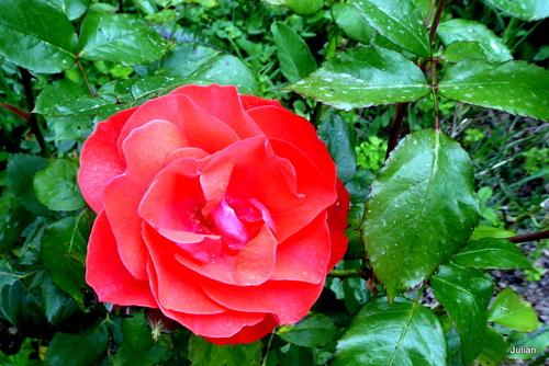 Rose blanche et rose rouge !