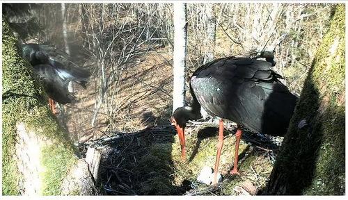 Cigognes noires