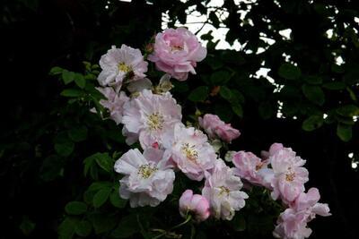 Un bouton, une rose, un rosier : Celsiana