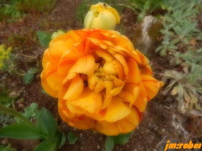 "La start dans mon jardin ""Dame tulipe"""