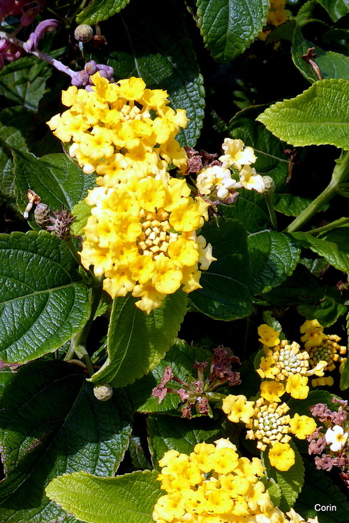 Fleurs du lantana