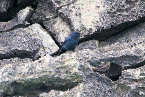 Monticole bleu (Blue Rock Thrush)