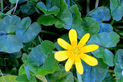 Fleur sauvage jaune ...