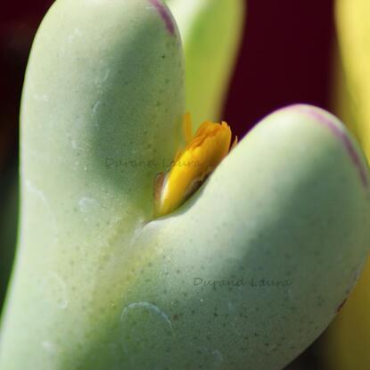 Conophytum Bilobum va fleurir