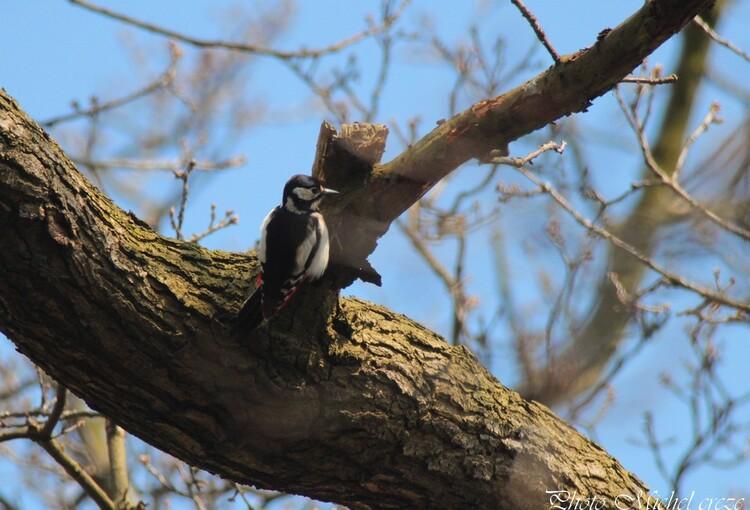 Pic épeiche ( femelle) Woodpecker (female)