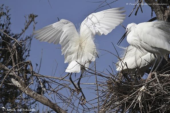 Aigrettes garzettes au nid