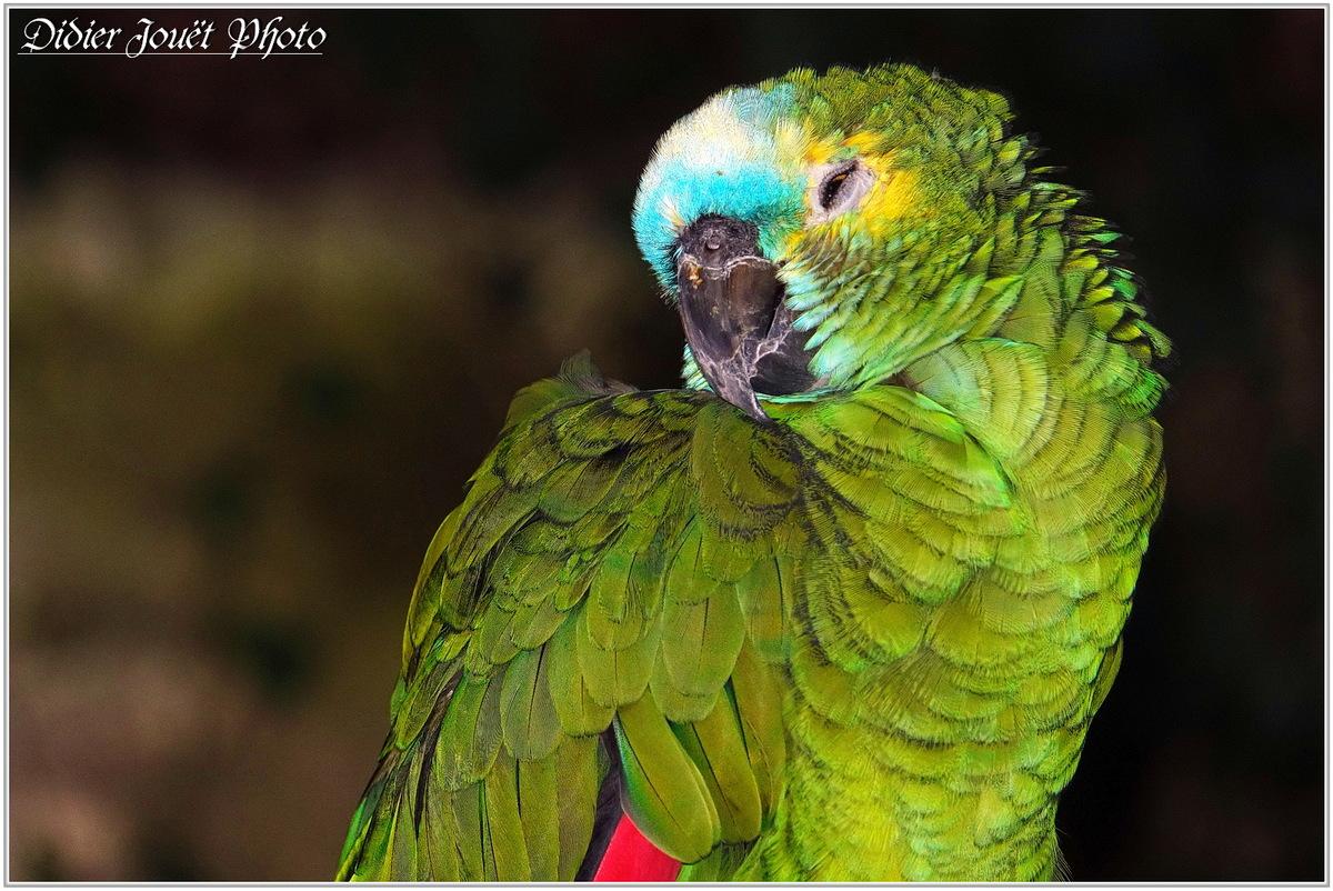 Amazone à Front Bleu (1) - Amazona aestiva