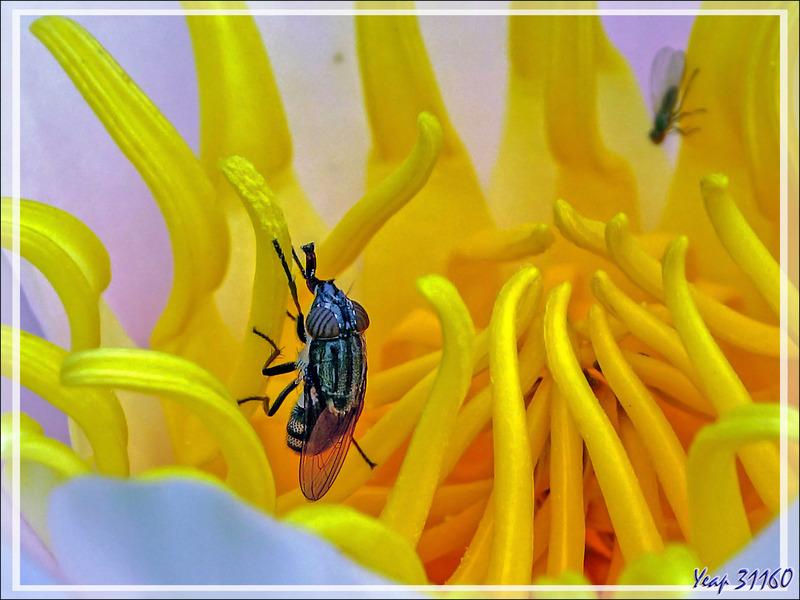 Les beaux yeux de la mouche Stomorhina lunata femelle et le Nymphéa - Lartigau - Milhas - 31