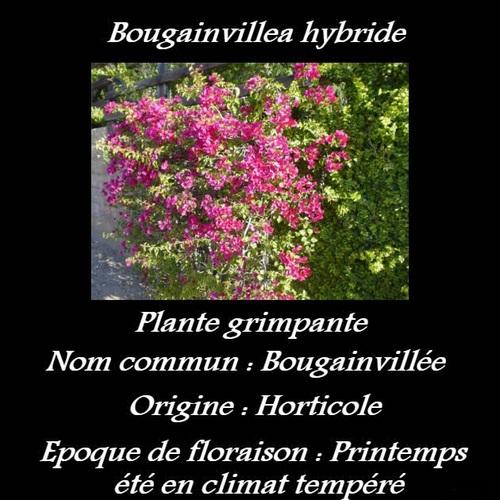 Bougainvillea hybride