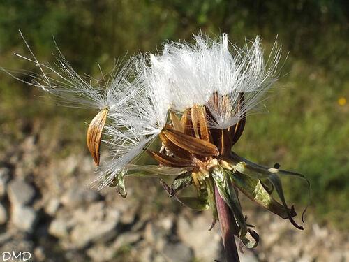 Cicerbita plumieri - Lactuca plumieri - laitue de Plumier