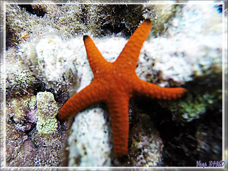 Snorkeling : Etoile de mer indienne, Indian sea star (Fromia indica) - Moofushi - Atoll d'Ari - Maldives
