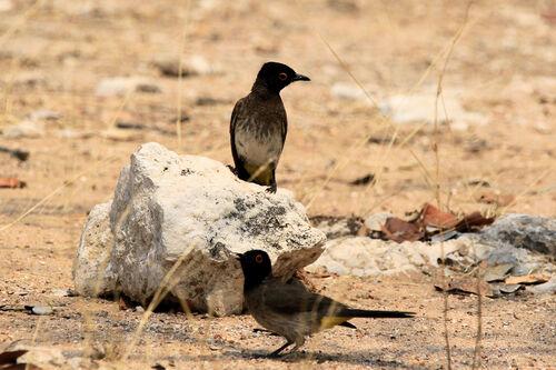 Bulbul brunoir (African Red-eyed Bulbul)