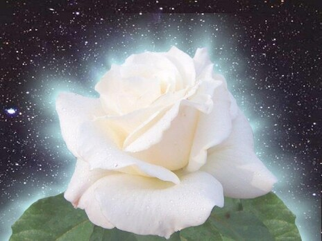 belle images rose blanche..........