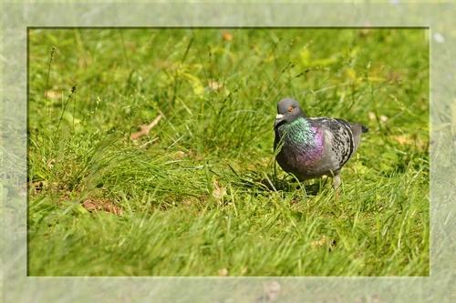 Pigeon sans petit pois...