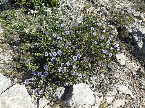 Globulaire Alypon ou Séné de Provence