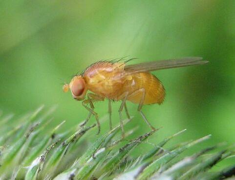 Mouche drosophile (drosophila melanogaster)