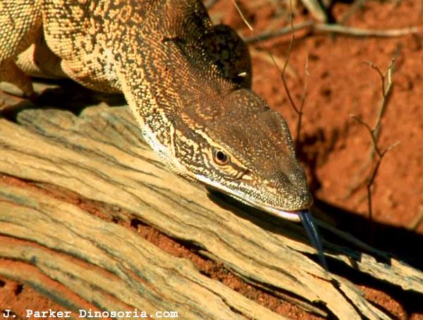 Cryptozoologie:  Des varans géants en Australie ?