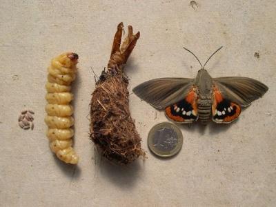 Paysandisia Archon mâle (Papillon du palmier) - Castniidae