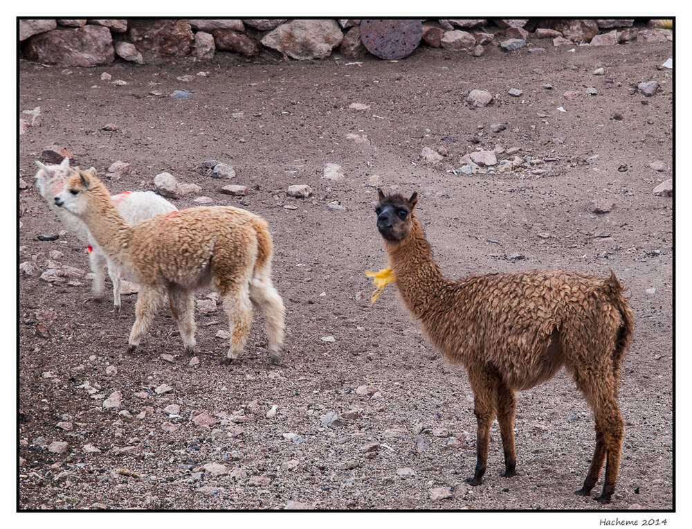 Lamas et Alpagas