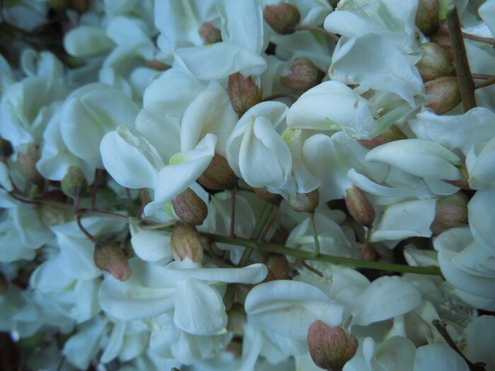 fleurs d'acacias