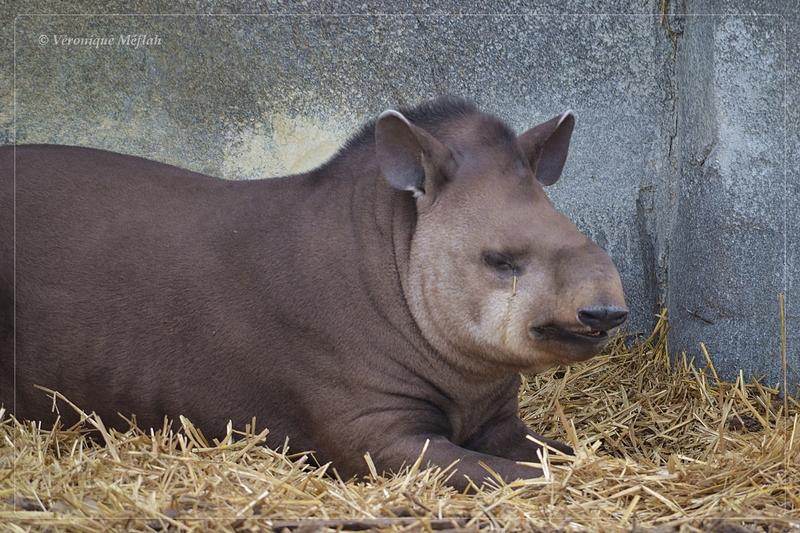 Parc Zoologique de Paris : Le tapir terrestre