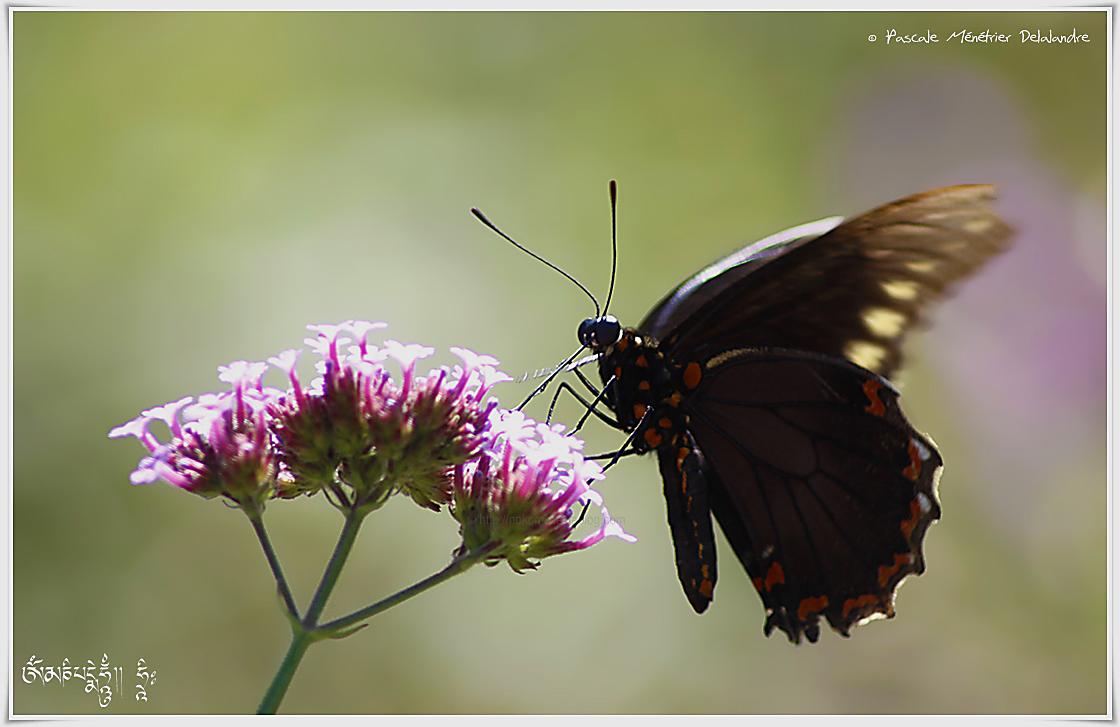 Papilio polytes alphenor - Papilionidae