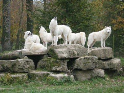Mes rêves de loups blanc/gris
