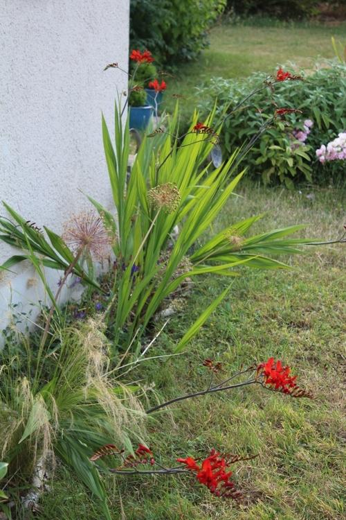 Les crocosmias sont en fleurs