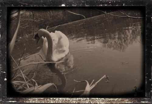 Sous le cygne du poisson