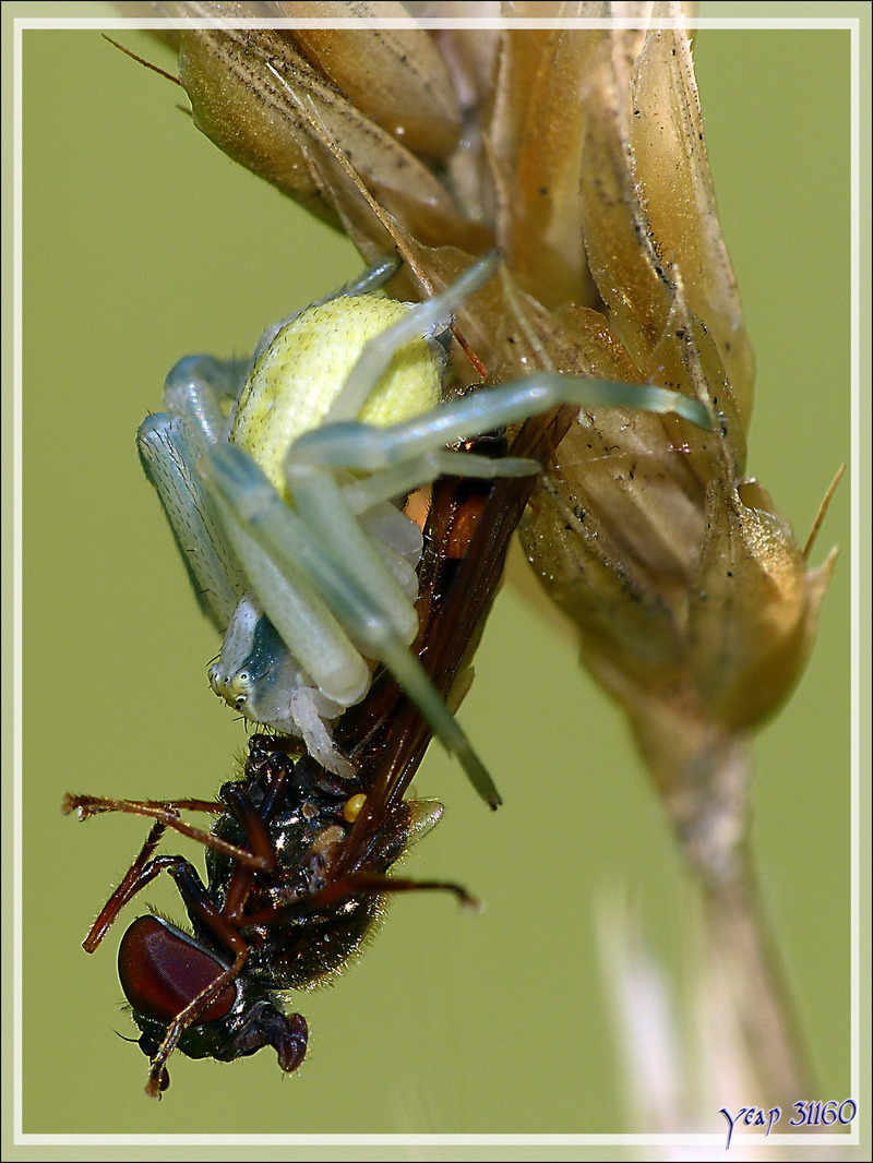 Bonne pioche pour la petite araignée-crabe Thomise - Lartigau - Milhas - 31
