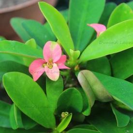Euphorbia Milii V. Vulcain - 2014 - 1ères fleurs